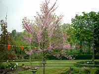 Cercis - judasboom